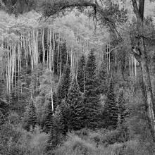 Aspen, Dawn, Castle Creek Canyon, Colorado 1988