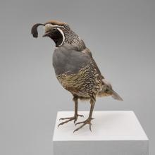 California quail (Callipepla californica)