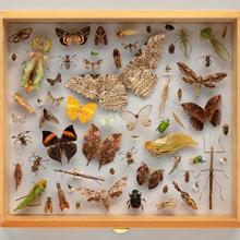 Display drawer of camouflage insect specimens