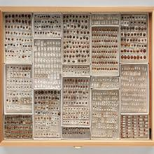 Display drawer of ladybug (Coccinellidae) specimens