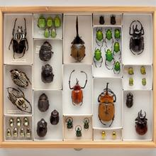 Display drawer of scarab beetle (Scarabaeidae) specimens