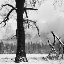 Black Oak, Fallen Branches, Yosemite Valley, California  1984