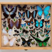 Display drawer of blue and green butterflies (Rhopalocera) and colorful beetles (Coleoptera)