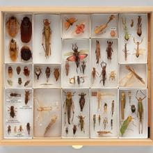 Display drawer of Orthopteroid specimens