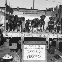 Doberman Puppies  1983