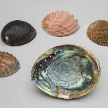 Black, white, pink, green, threaded abalone (Haliotis)