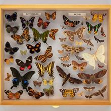 Display drawer of butterfly and moth (Lepidoptera) specimens