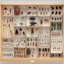 Display drawer of bee, wasp, and ant specimens (Hymenoptera)