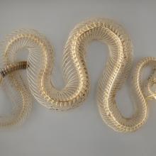 Red diamond rattlesnake skeleton (Crotalus ruber)