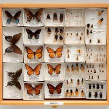 Display drawer of insect specimens