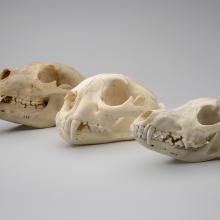 Black bear skull (Ursus americanus), Mountain lion skull (Puma concolor), Coyote skull (Canis latrans)