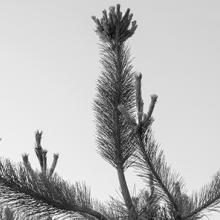 Korean pines grow in center of memorial  2018