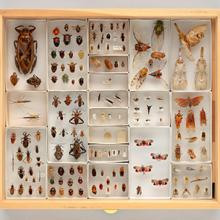 Display drawer of Hemiptera specimens