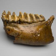 American mastodon lower jaw (Mammut americanum)