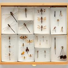 Display drawer of dragonflies (Anisoptera) and damselflies (Zygoptera)